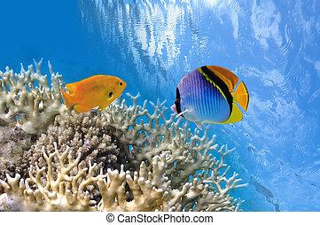熱帶魚, 上, 珊瑚礁, 在紅里, 海