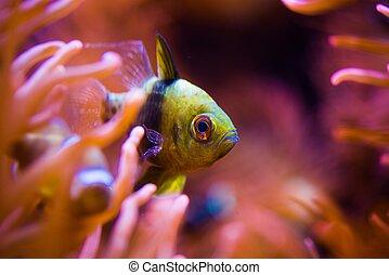 熱帶魚, 以及, the, 礁石