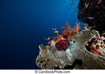 熱帶, 礁石, 以及, 海的生活, 在紅里, sea.