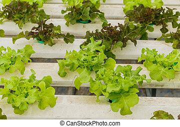 營養液培養, 蔬菜, 是, 種植, 在, a, 花園