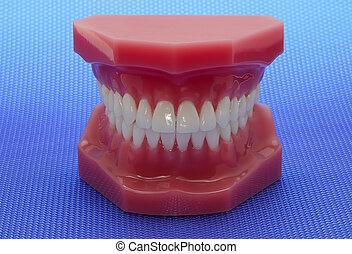 牙齒, 模型