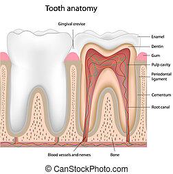 牙齒, 解剖學