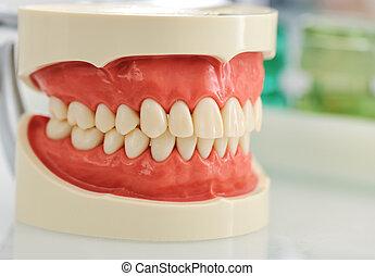 牙齒, 頜
