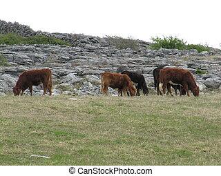 牛を牧草を食べること