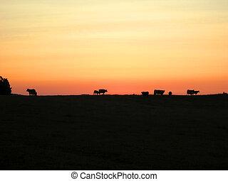 牛, ∥において∥, 日没