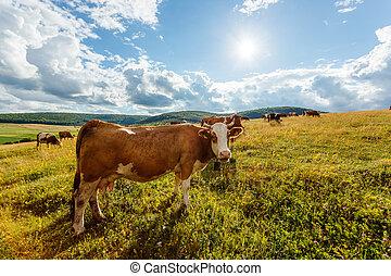 牛, フィールド, 日当たりが良い, 牧草, 群れ