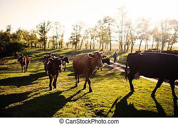 牛, 夏, 牧草地