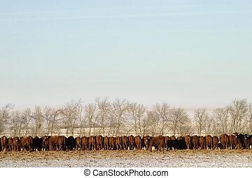 牛, 横列