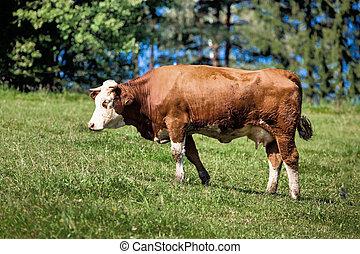 牛, 牧草地, 搾乳場, 夏