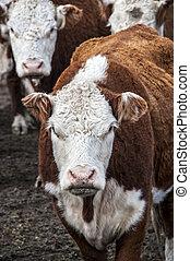 牛, 牧草地, 群れ, 牧草, patagonia