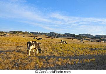牛, 牧草, 中に, menorca, balearic 島, スペイン