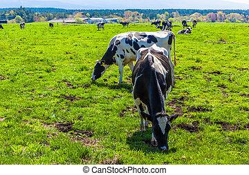 牛, 牧草, asagirikogen