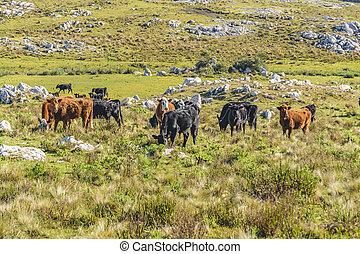 牛, 田舎, maldonado, ウルグアイ