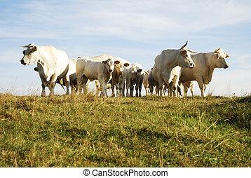 牛, 群れ