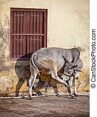 牛, 路上で, の, indian, 町, -, udaipur