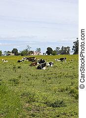 牛, uruguay., 休む, 群れ