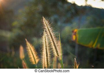 牧草地, の上, 太陽, meadow., 終わり, light., ライト, 背中, 朝