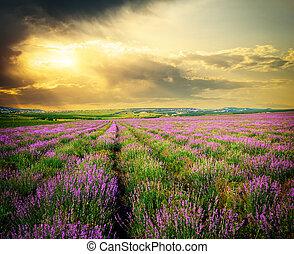 牧草地, の, lavender.