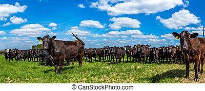 牧草地, 牛