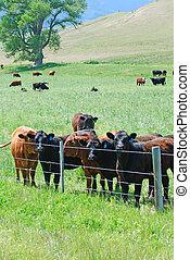 牧草地, 緑, 牛を牧草を食べること