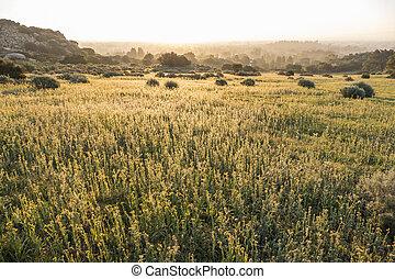 牧草地, san, 野生の花, 谷, fiddleneck, フェルナンド
