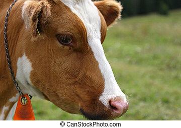 牧草, 牛, ブラウン, 肖像画, 白, アルプス