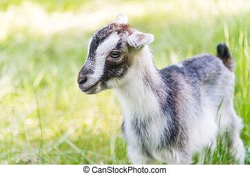牧草, 牧草地, goat