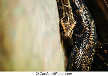 特写镜头, 图画, 在中, 危险, 长大, 蟒蛇