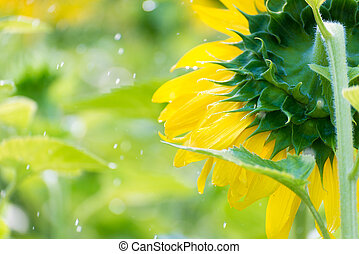 特寫鏡頭, 上水, 向日葵領域, 在, 早晨