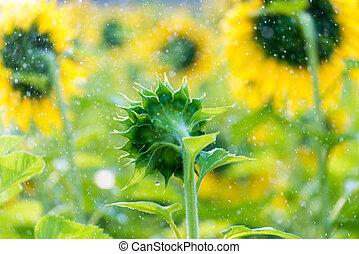 特寫鏡頭, 上水, 向日葵領域