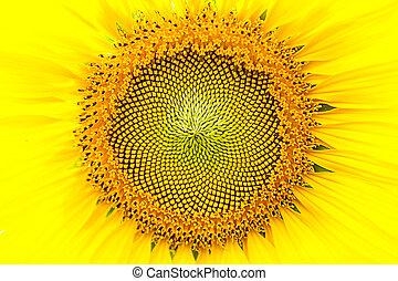 特寫鏡頭, 向日葵, 花
