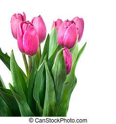 特寫鏡頭, 粉紅色, 鬱金香, 被隔离, 在懷特上