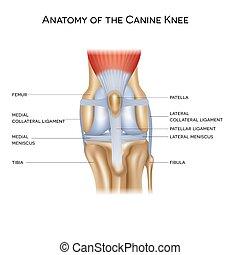 犬, 解剖学, 膝