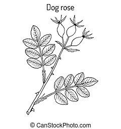 犬, rosa, 植物, canina, 薬効がある, バラ
