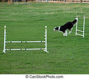 狗, 跳跃, 在, 一, 敏捷, 训练