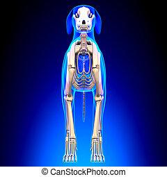 狗, 骨骼, -, canis 狼瘡, familiaris, 解剖學, -, 正面圖