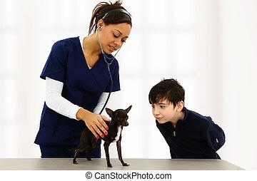 狩醫, 使用聽診器, 上, boys', chihuahua, 小狗, 當時, 男孩, 做, 愚蠢, 臉, 到, distract.