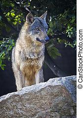 狼, イベリア人