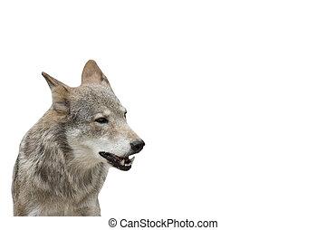 狼, 上, a, 白色 背景, 被隔离