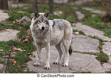 狼, 木材
