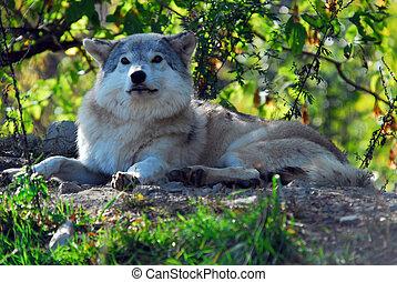 狼, 灰色, lupus), (canis