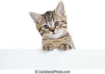 猫, 小猫, 偷看, 在中, a, 空白, 旗帜, 隔离, 在怀特上, 背景