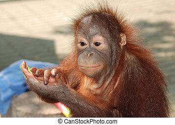 猴子, 動物, 猿