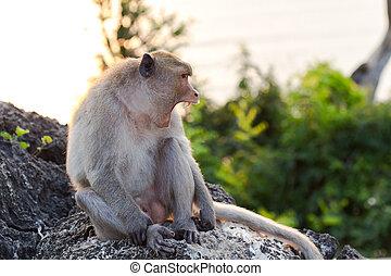 猴子, 打呵欠
