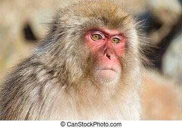 猴子, 關閉