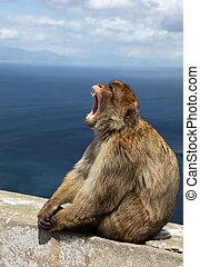 猿, ......的, gibralta