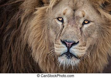 獅子, 關閉