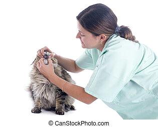 獣医, メインのcoon 猫