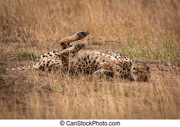 獵豹, 躺在后面上, 由于, 眼睛關閉