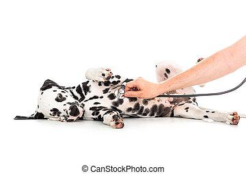 獸醫, 檢查, ......的, dalmatian, 狗, 躺在后面上